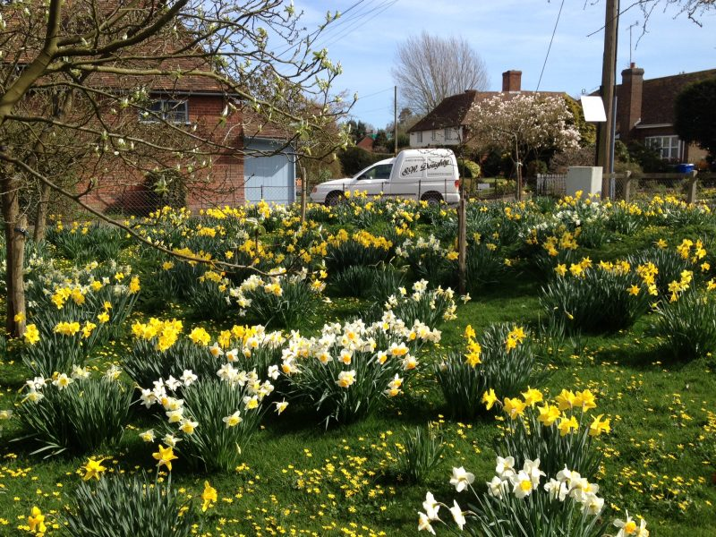 A host of daffodils liven up Doddington every spring.
