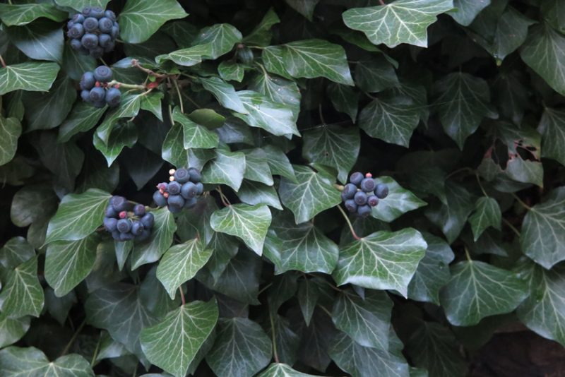 The fat berries of mature ivy augment the late-winter diet of blackbirds. This fine specimen is in Dorset Place