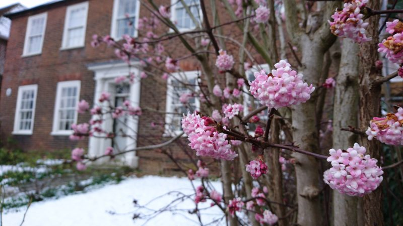 A scented, floriferous Viburnum x bodnantense 'Dawn' in the brief flurry of January's snow, photographed by Alexandra in the front garden of Wreight's House.