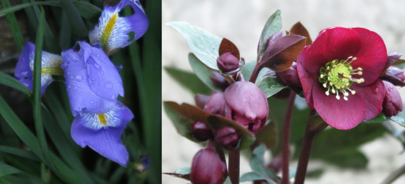 The vivid violet-blue flower of the Algerian iris, Iris unguicularis (left), and (right) Helleborus 'Anna's Red' in my front garden in Athelstan Road