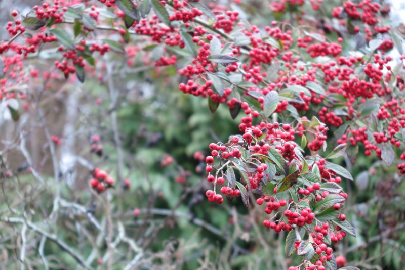 A handsome cotoneaster, covered in berries