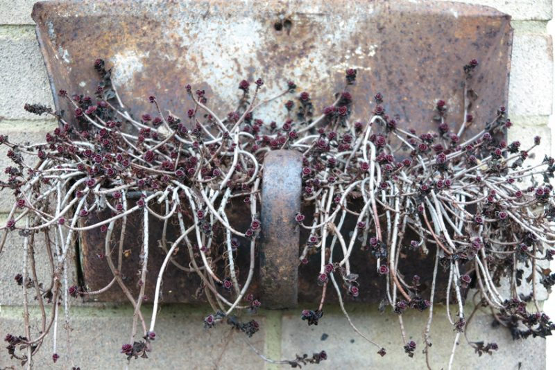 A rusty dustpan is the upcycled home to a trailing succulent in The Knole