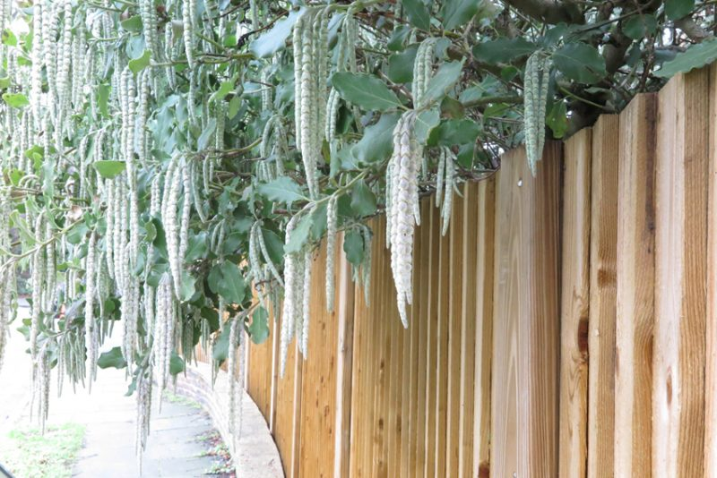 In Preston Lane, the long, silky tassels of Garrya elliptica shimmer against the foil of a pale wooden fence