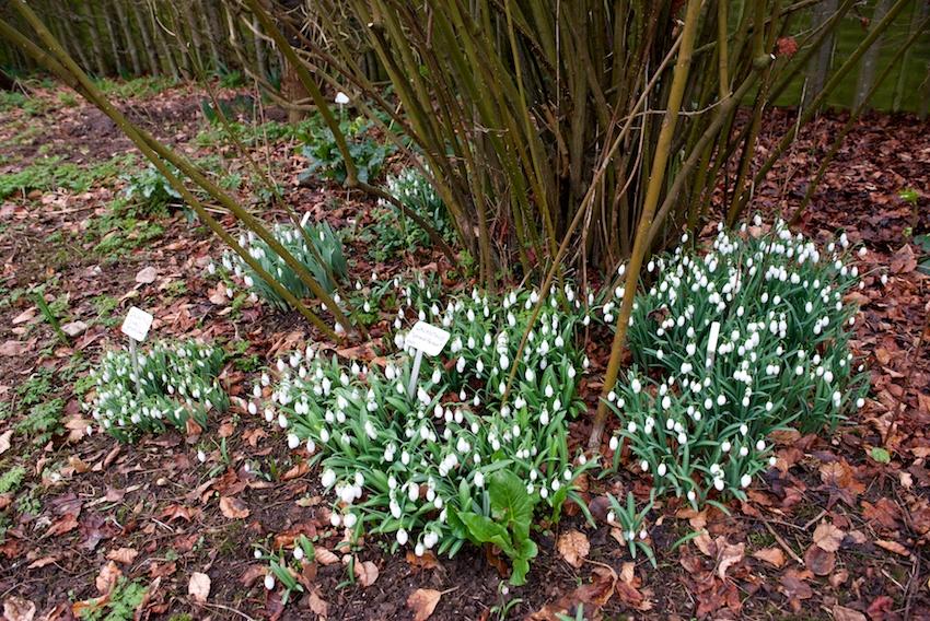 snowdrops, Copton Ash, gardening, Faversham, Tim Ingram, galanthus