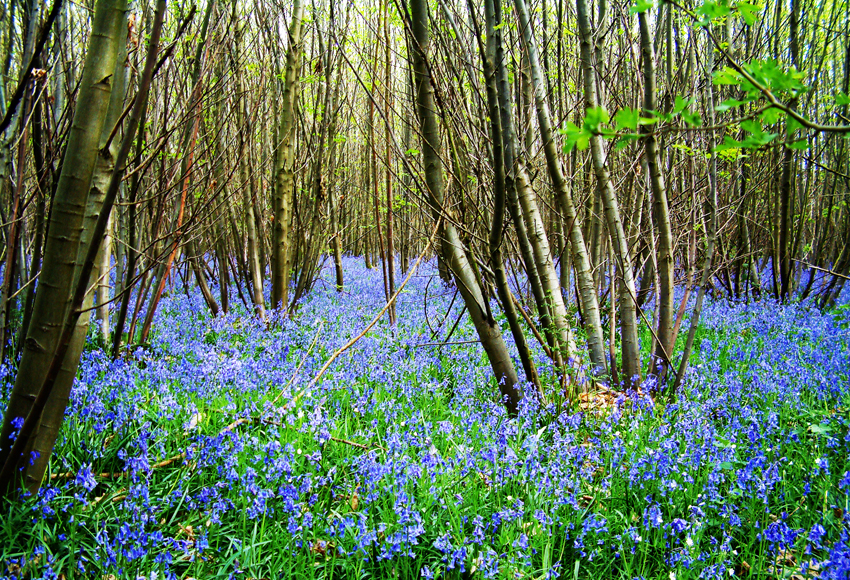 bluebells, coppicing, woods, nature, Kent, North Downs,