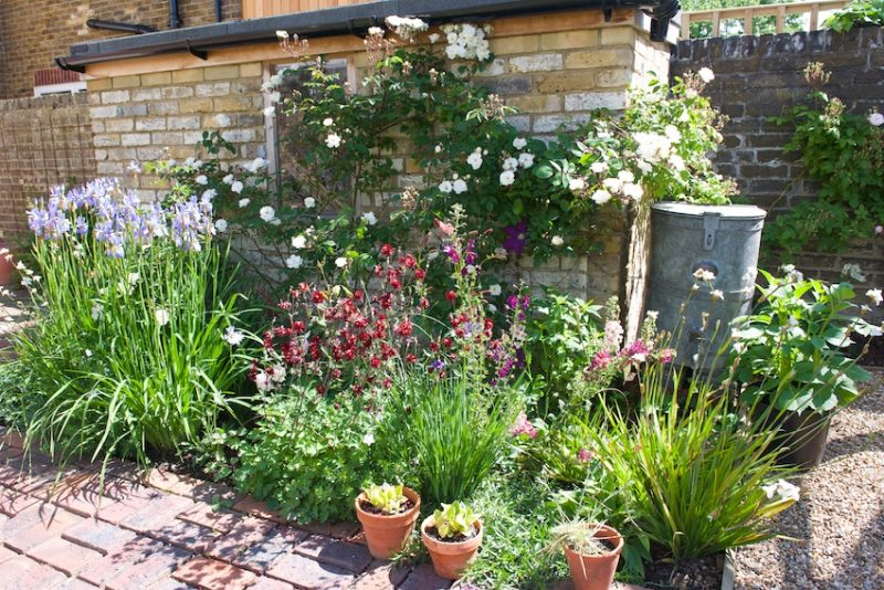 The 'bothy' bed at 54 Athelstan Road - sibirica irises, aquilegias and Rosa 'Moonlight'