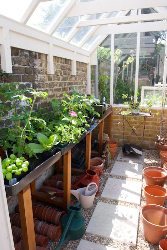 Tomato plants and basil in the greenhouse