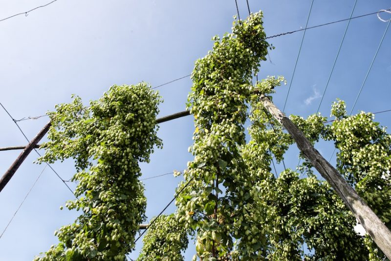 Kentish hops, Perfect weather for growing hops