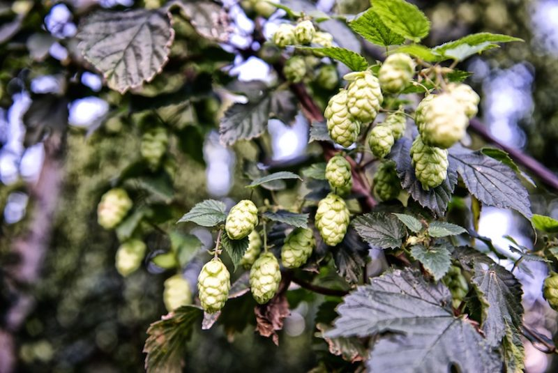 hops in full flower ready to be harvested