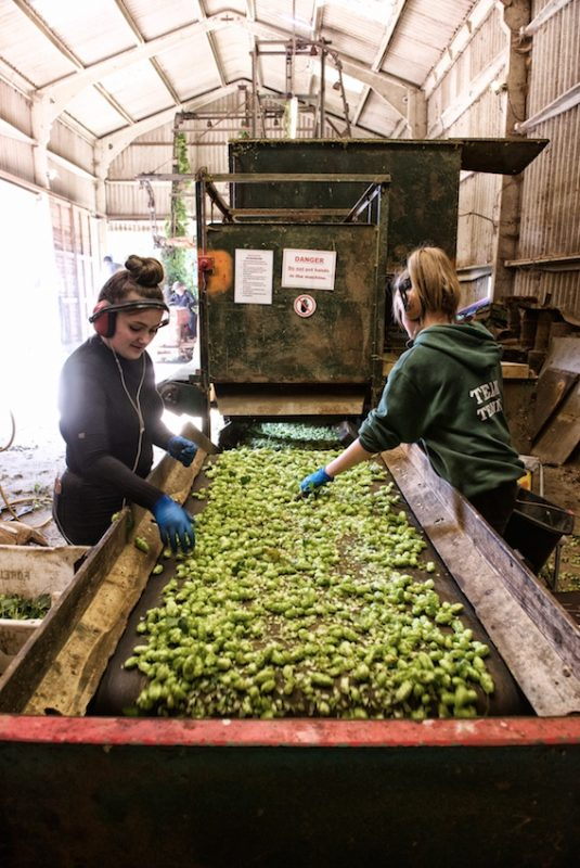 Kentish hops. Hop pickers on quality control duty