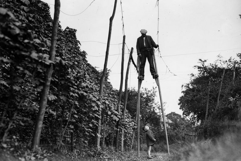 Kentish hops. Traditionally, hops were strung by stilt-walkers