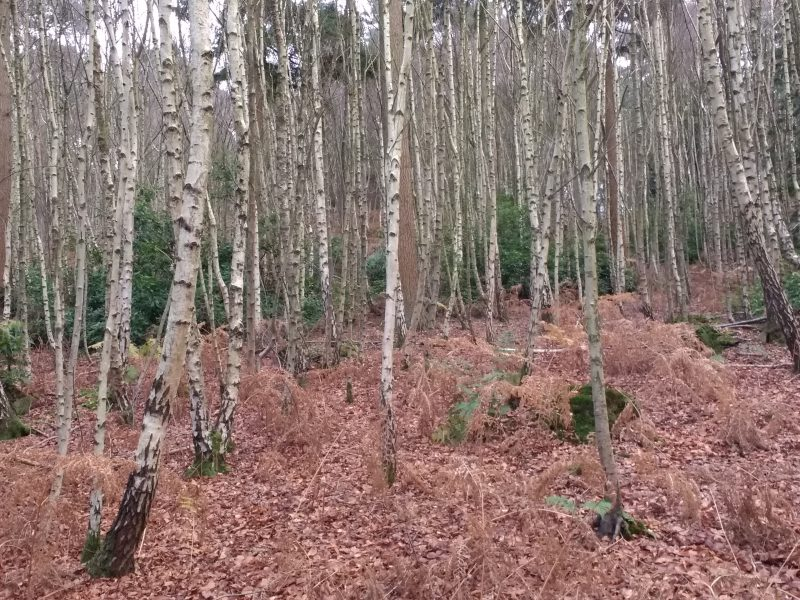 A winter walk around Faversham. Thickets of silver birch grow straight and dense