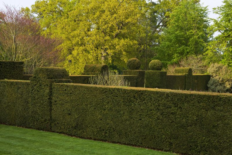 DODDINGTON PLACE GARDENS, KENT: YEW HEDGES BESIDE THE HOUSE