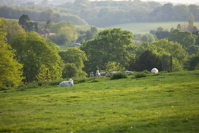 Sheep in the park, looking across the Syndale valley © Clive Nichols