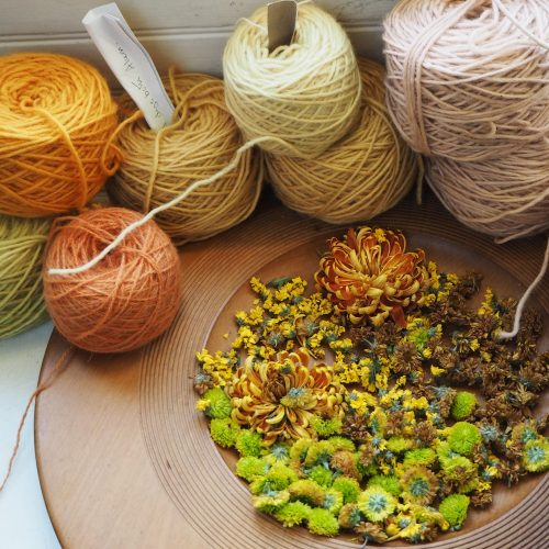 Drying Chrysanthemum petals for dyeing