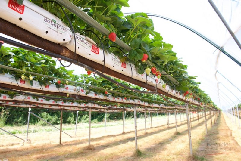 Polytunnels create a controllable environment and protect the fruit and pickers from the weather
