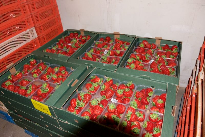 Newlines Farm strawberries