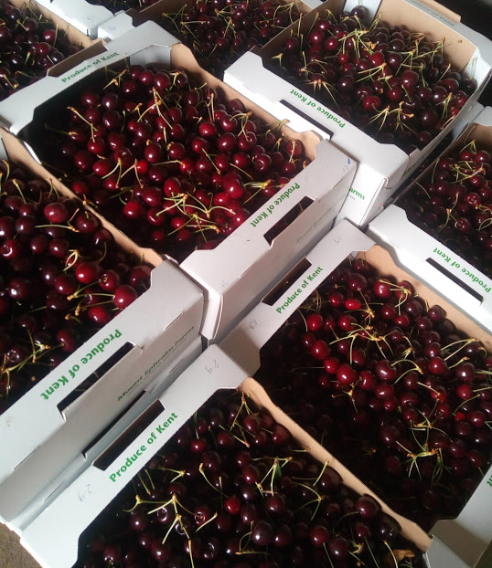 Modern cherry varieties are larger, blacker and very juicy