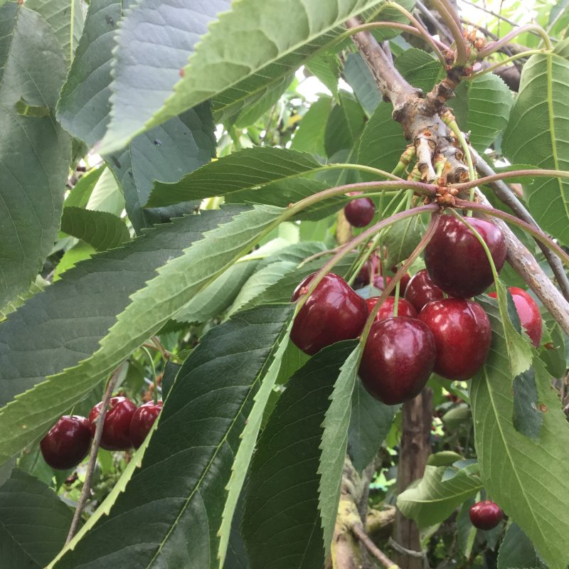 Kent cherries growing on nine-foot trees under cover