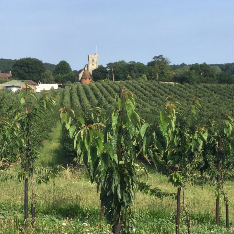 Looking back towards Hernhill Church from a young cherry orchard