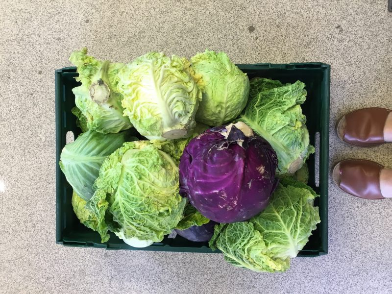 Cabbages waiting to be turned into salads and/or fashionable fermented vegetables