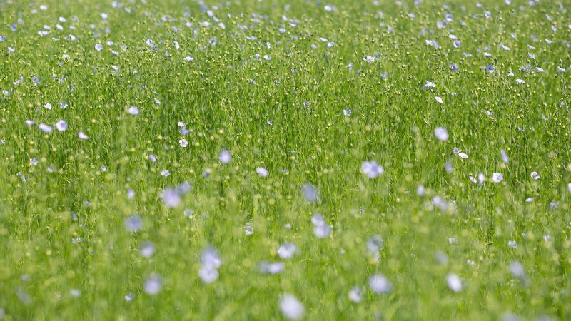 A haze of blue flax flowers