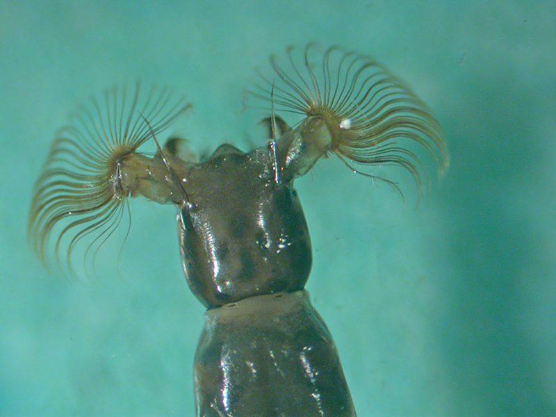 Simulium larva head, showing fans of bristles for catching food. Photo: Bob Gomes